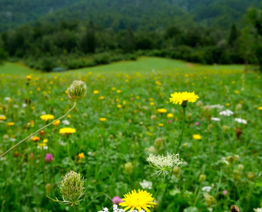 A-beautiful-field-with-wilde-lowers-before-we-reach-the-waterfall-upstream-from-mostnica-gorge-bohinj-region-slovenia